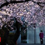Japan cherry blossom season wilted by the coronavirus pandemic
